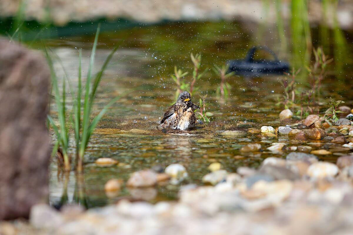 Vogelbad im Naturschwimmteich - Hotel Konradshof