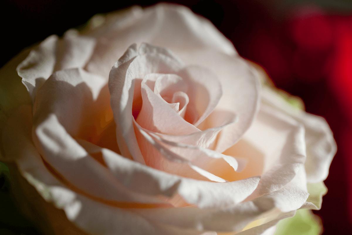Nahaufnahme einer Rose - Hotel Konradshof